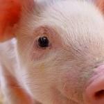 JB_farm-pig
