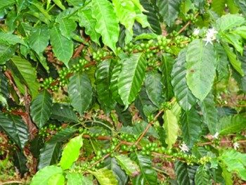 Coffee-field