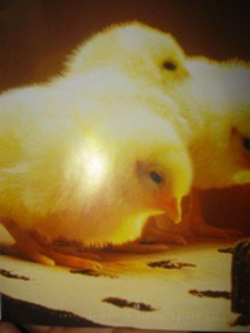 JBG Chick